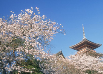 Kirschblüten in Japan