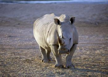 Im Ziwa Rhino Sanctuary leben Breitmaulnashörner