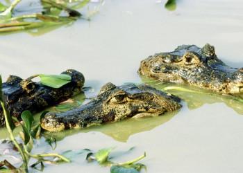 Kaimane im Pantanal in Brasilien