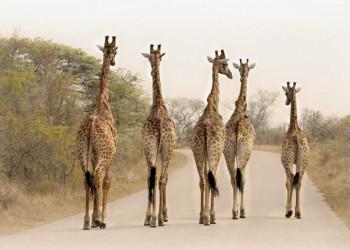 Giraffen im Krüger-Nationalpark in Südafrika