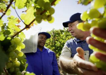 Zwei Arbeiter in den Weinbergen Südafrikas