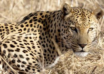 Leopard auf der Lauer