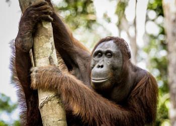 Ein Orang-Utan auf Borneo