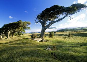 Vom Wind geformte Bäume, Cannibal Bay, Neuseeland
