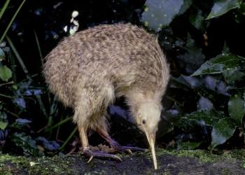 Kiwi-Vogel in Neuseeland