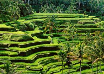 Das satte Grün der Reisterrassen - zum Sattsehen