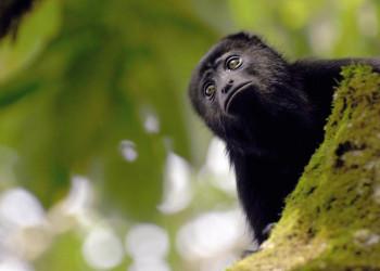 Meistens hört man sie nur - die Affen im Dach des Dschungels von Guatemala