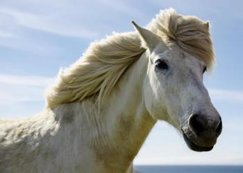 Island-Ponys begegnen Sie auf Ihrer Rundreise sicher öfter.
