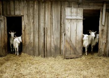 Neugierige Ziegen auf der Fahrt durch Baltikum