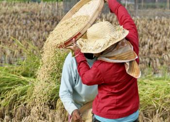 Bauern bei der Reisernte auf Bali