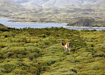 Guanako im Nationalpark Torres del Paine in Chile