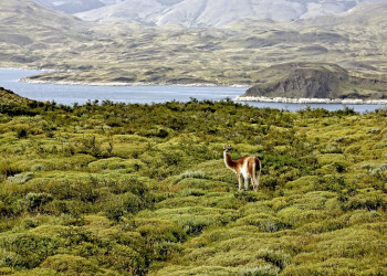 Guanako im Nationalpark Torres del Paine in Chile