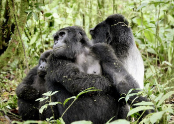 Berührend - frei lebende Gorillas in Uganda von Nahem