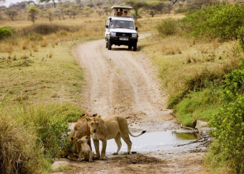 Löwenfamilie in der Serengeti