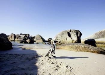 Einer der putzigen Pinguine am Boulders Beach