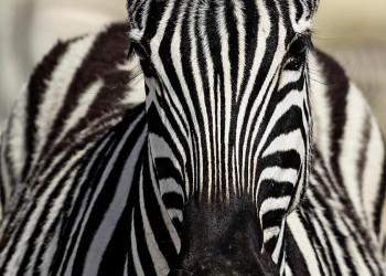 Zebra im Etoschapark in Namibia