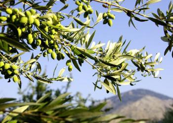 Ständige Begleiter in Griechenland: Olivenhaine