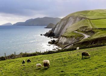 Schafe am Meer auf Dingle