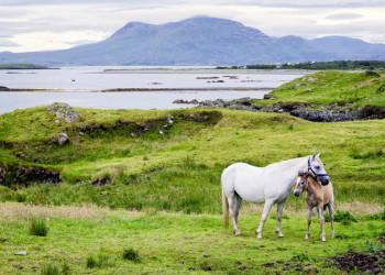 Pferde in Connemara, Irland