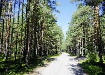 Mächtige Kiefern im estländischer Natur