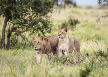 Löwen im Krügerpark