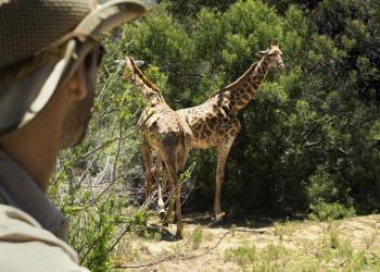 Giraffen im Krügerpark in Südafrika