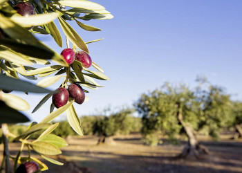 Das grüne Gold Andalusiens