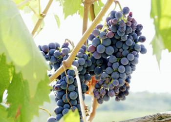 In der Toskana wachsen wundervolle Weinreben.