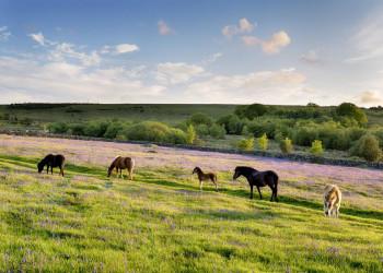 Halbwilde Ponys im Dartmoor-Nationalpark