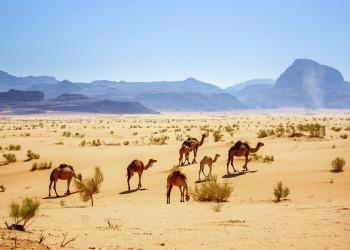 Dromedare im Wadi Ram in Jordanien