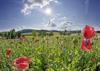 Idylle pur: ein Mohnblumenfeld