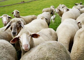 Irische Schafe sind sehr fotogene Models